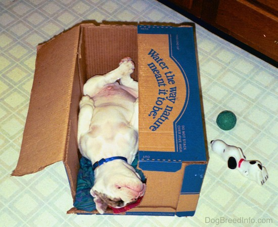 A white with brown Bulldog puppy sleeping upside down in a cardboard box with his paws laying at his sides and is pudgy pot belly showing.