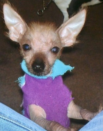 A little hairless puppy with skin that is wrinkled and a little bit of hairs sticking out of his head and ears and around his face wearing a purple and blue shirt standing up with his front paws up on a person wearing jeans. The dog has wide round eyes and large perk ears that stand up and come to a point at the end. His nose is black.
