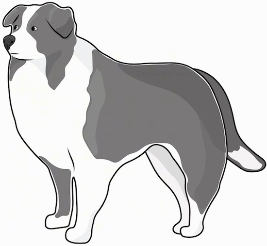Side view drawing of a black dark gray and white thick coated collie type sheepdog with small fold over ears and a long thick tail standing.
