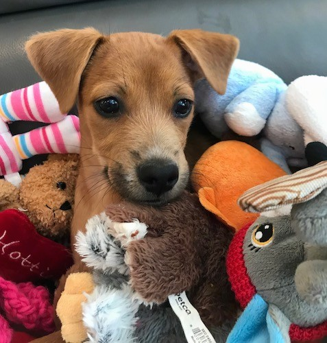 A small brown dog with v-shaped ears that fold over to the front, a black nose and dark eyes with her head sticking out of a pile of stuffed plush animals.