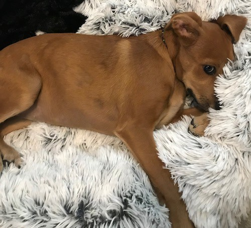 A small brown dog with ears that fold over to the sides, dark eyes and long legs laying on a furry white and gray blanket.