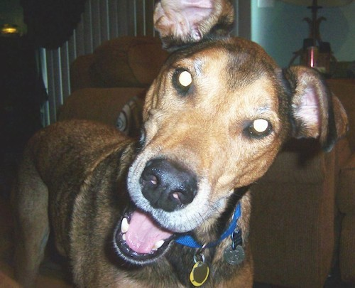 Front view of a tan, brown and black dog with small ears that stand up and fold over to the front at the tips, a black nose, wide round eyes, a pink tongue and a long muzzle looking forward in a living room looking happy. The dog is wearing a blue collar with dog tags hanging from it.
