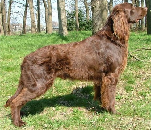 Side view of a big brown dog with a wavy coat and long ears with wavy hair hanging from them posing outside.