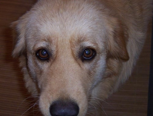 Close up head shot of a tan thick coated dog with wide brown eyes and a black nose looking up while standing on a hardwood floor.