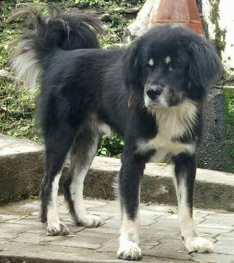 Side view of a large breed black with white dog that has longer fringe hair on its tail that curls up over his back. The dog is all black with white on its chest, legs, back of its tail, a small amount near his nose on his muzzle and two white spots above each eye.
