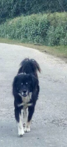 Front view - A large breed thick coated black with white dog walking down the middle of a small road surrounded by trees.