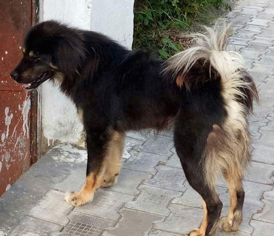Side view of a thick coated black with tan dog that has longer fringe hair on its tail, back of his legs and on his ears. The dogs body and face are black with tan paws and tan spots above each eye.
