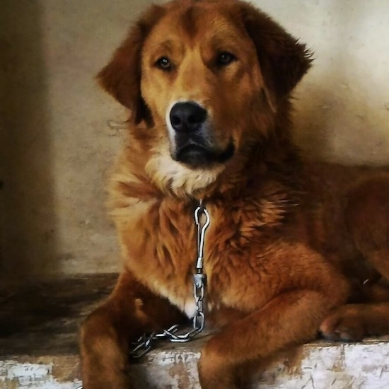 Front view of a thick coated red with white large breed dog with a large head and a big black nose laying down on concrete with a medal link chain connected to its collar