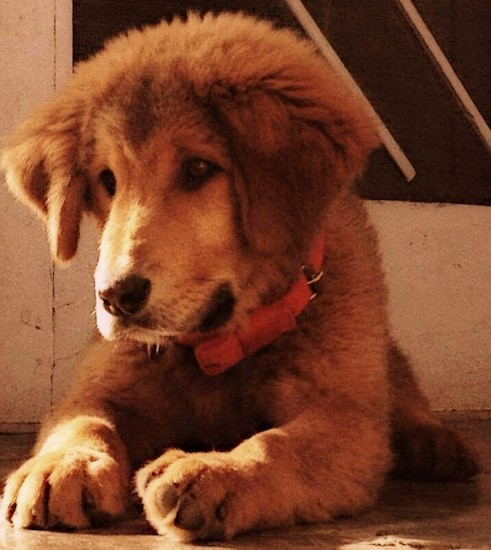 Front view of a large breed puppy with a thick coat and drop ears that hang down to the sides and big paws laying down on concrete with a white door behind him.