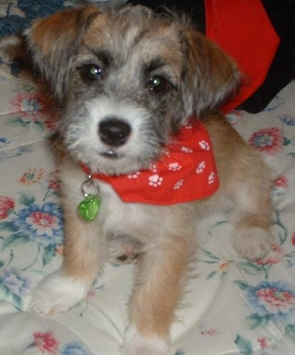 A soft, but wiry looking little tan, black and white puppy sitting down on a person's bed wearing a red bandanna. The pup has a black nose and wide dark eyes with small fold over ears that hand down to the front of her head.