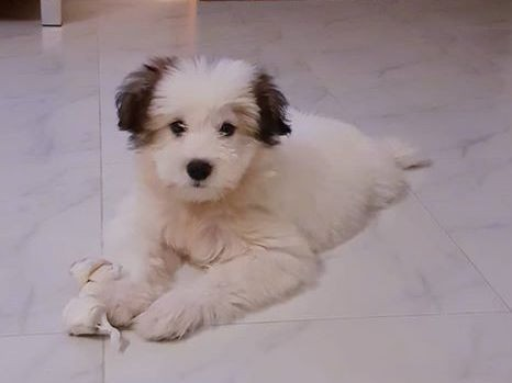 A small, thick coated, soft, fluffy white puppy with brown ears laying down on a white tiled floor with a rawhide bone next to his paws.