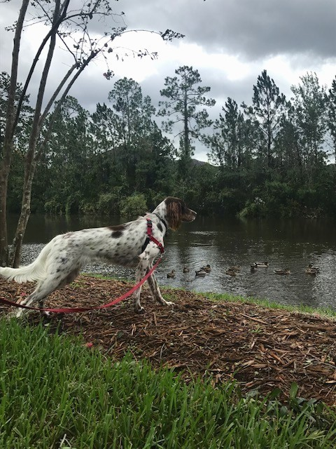 Side view of a large breed white dog with brown on her head and brown and black spots on her body at the bank of a pond looking at ducks swimming in the water.