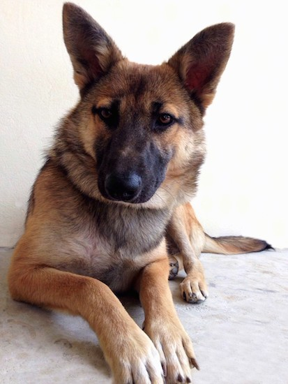 Front view of a large shepherd dog with a black muzzle, a big black nose, brown eyes, large perk ears, a long tail, a tan body and white on the tips of her paws laying down on concrete.