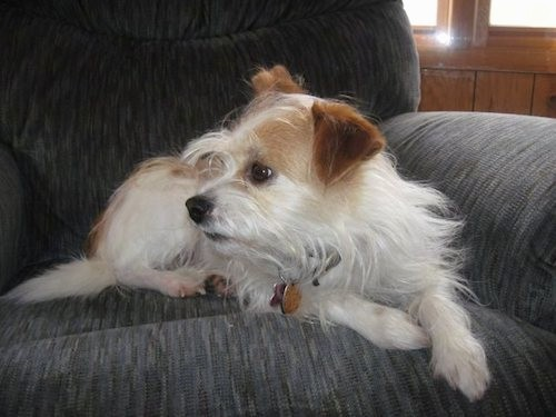 Front side view of a long scruffy, but soft looking white and tan dog with a white body, tan ears and tan on his face and back, brown eyes, a black nose and black lips laying down on a blue couch looking to the left.
