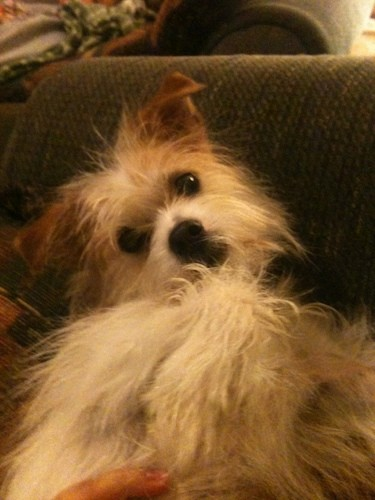 A long haired shaggy white with brown and tan markings, brown ears, a white body, a black nose, dark round eyes and black lips laying on her back on a blue couch with a hand her on belly.