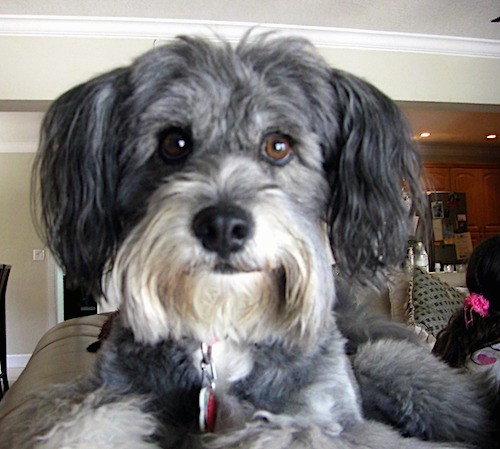 Front view head shot of a gray with white dog that has long hair hanging from her snout like a beard, ears that hang down to the sides with long hair on them, a black nose and wide brown eyes laying on the back of a couch.