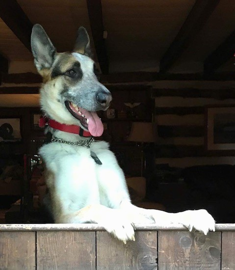 A large breed tricolor shepherd dog standing up on his hind legs looking out the open part of a barn door with his pink tongue hanging out wearing a chain collar.