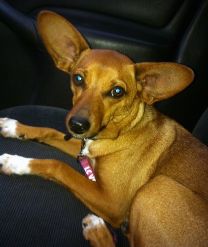 A brown shorthaired dog with very large, wide-set, perk ears, a long muzzle, big round brown eyes, a wide forehead and a black nose with white on her paws laying down on a seat of a car.