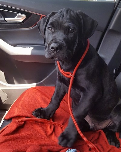 A small black large breed puppy with extra skin and wrinkles on his head, soft ears that hang down to the sides, a black nose and big paws sitting down on a red blanket on the seat of a car.