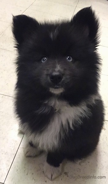 Front view of a thick coated fluffy black dog with a white chest and blue eyes sitting down on a white tiled floor. The pup has small perk ears that stand up in the air and a black nose and a white chin with white on the tips of his paws.