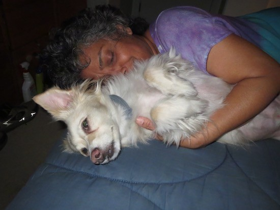 A small white dog with perk ears and longer fringe hair on his head, legs and back laying sideways on a person's bed with a woman in a purple shirt hugging him. The bed has a blue comforter on it.