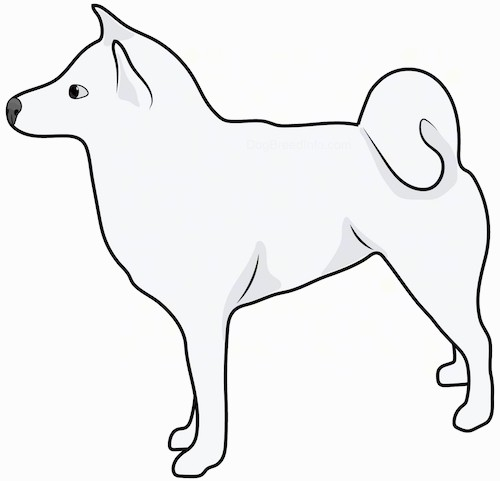 Side view drawing of a white, fluffy dog with a ring tail that curls over its back and small perk ears.