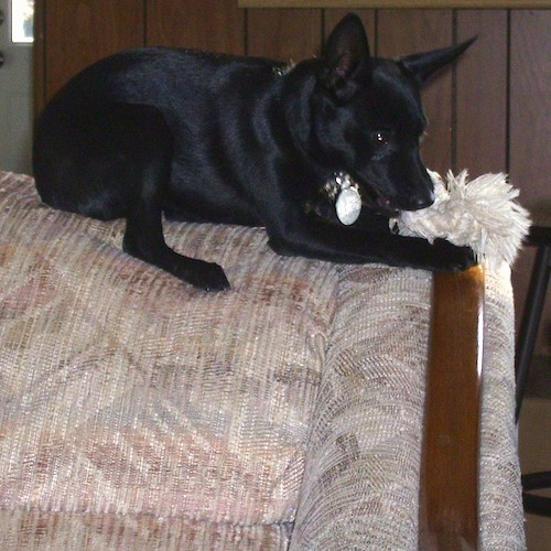 A black dog with short hair and large perk ears laying on the top of a tan couch chewing on a white rope toy.
