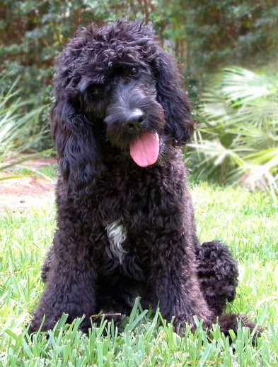 A black, thick, wavy-coated dog with a white spot on her chest, a black nose, dark round eyes and long drop ears that have wavy hair on them sitting in grass with her head cocked to the left.