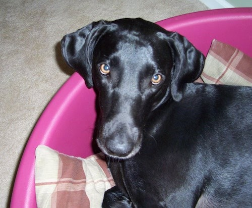 A shiny, short coat, soft looking black dog with fold over ears that hang down to the sides, a long muzzle, a black nose and brown eyes laying down in a hot pink plastic tub on top of a tan and maroon blanket inside a house on a tan carpet.