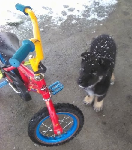 A little black, tan and white puppy with snow on his head standing next to a red, blue and yellow child-size bike outside on a patio