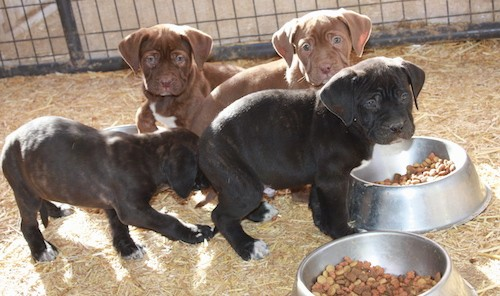 A litter of four puppies, two black brindle and two brown in front of their bowls of kibble standing and sitting in hay