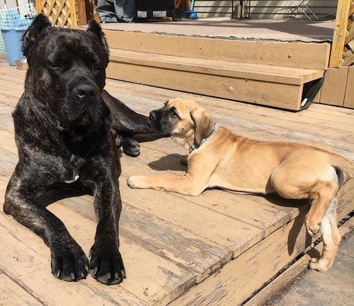 An extra large breed black brindle dog with small cropped ears laying down outside on a deck with a large breed tan puppy with a white snout and ears that hang down to the sides laying next to him