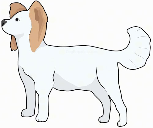Side view drawing of a small sized white dog with fringe on her tail and ears with a white body and brown ears standing