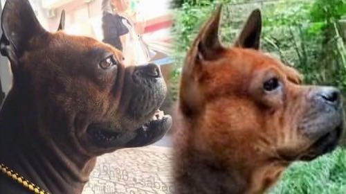 Two dogs side by side of a comparison between the Chongqing Hound and the a Chuandong Hound