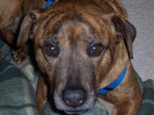 CLose up head shot of a brown brindle dog with a big body and head, a graying muzzle and black nose wearing a blue harness laying down on a gray rug and green blanket