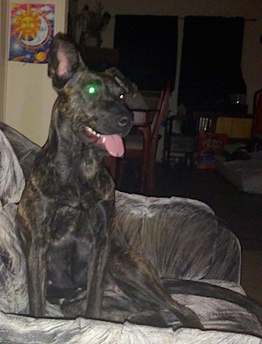 A large breed black and brown brindle dog with one ear that stands up and one ear folded over at the tip sitting down on a gray couch with a sun and moon painting on the wall behind him