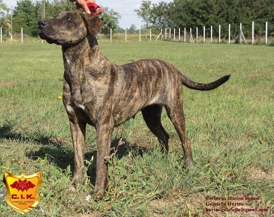 Side view of a brown brindle dog with a long tail and ears that hang down to the sides standing in grass looking at her handler