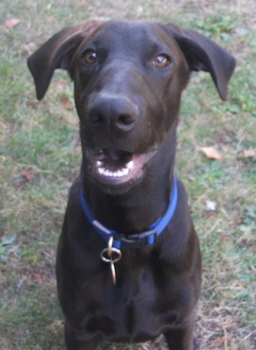 Front view head and upper body shot of a short coated black dog with brown eyes, ears that fold down and out to the sides, a long muzzle with a big black nose wearing a blue collar sitting down outside in grass