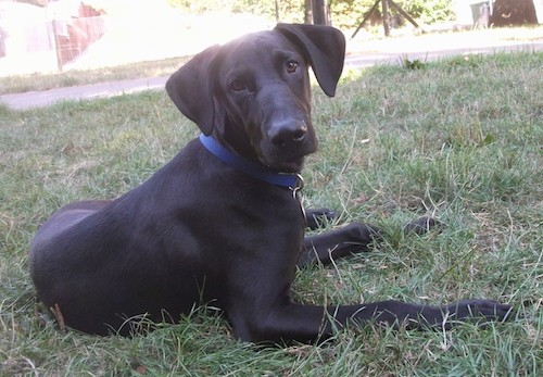 Side view of a large breed black dog with wide long ears that hang to each side of his head, a long muzzle with a big black nose, brown eyes and long legs laying down in grass