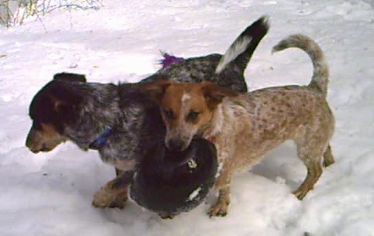 Two short, low to the round dogs, a gray and black and a tan and white dog playing with a toy in snow