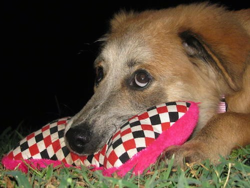 Close up head shot of a tan puppy wiht a long gray muzzle and a black nose and brown eyes with the whites of the eyes showing as the pup looks up with her head on a hot pink, black, red and white checkard pillow outside in grass