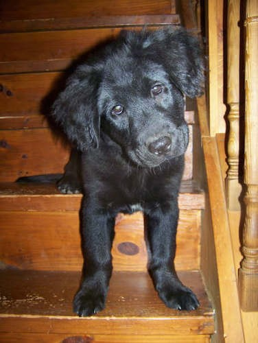 A little black puppy with thicker soft fur on his fluffy ears, droopy brown eyes and a black nose sitting on wooden steps inside of a house