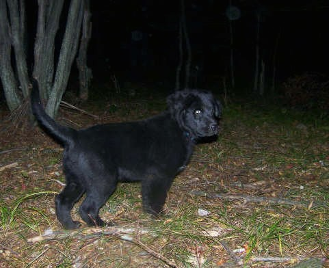 A small black puppy with a long tail and thicker hair on his ears standing outside in the woods at night