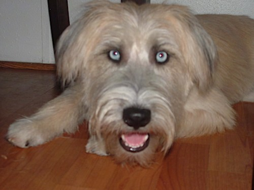 Front view of a long haired tan dog with black hairs coming from her ears, a big black nose and ice blue eyes laying down on a hardwood floor looking happy with her pink tongue showing