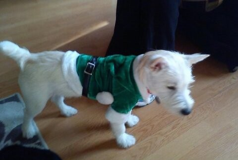 A white terrier dog with a short tail and prick ears wearing a green Santa shirt standing on a hardwood floor looking down