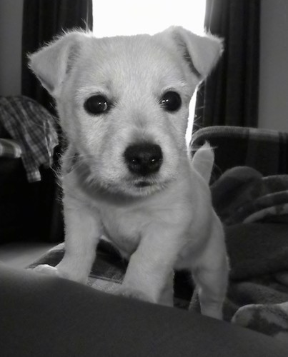 A black and white picture of a little white puppy with big black eyes and a black nose with her front paws up on the back of a couch