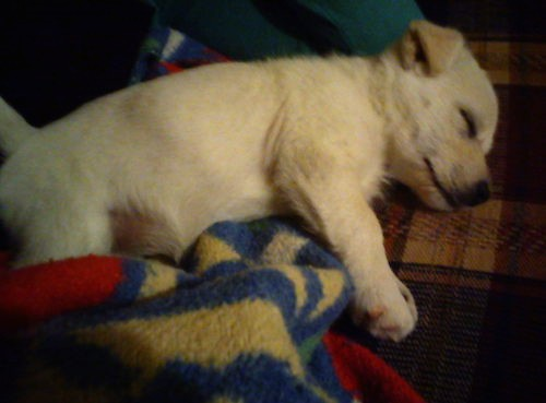 A small white puppy with  small v-shaped ears  and a black nose laying down on blankets sleeping