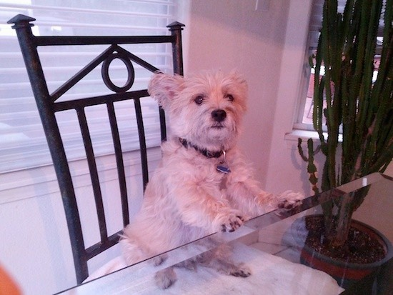 A small, soft-looking tan dog sitting on a metal chair with his front paws on the glass table top with a house plant next to him