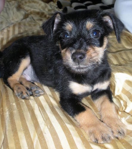 A small black with tan puppy with wide brown eyes laying down on a shiny, striped gold colored sheet