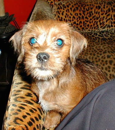 A scruffy little tan dog with ears that hang to the sides, a black nose and wide round eyes that are glowing green sitting down on a leopard couch
